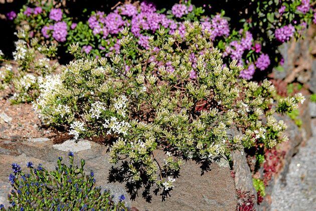 Rosentibast, 'Daphne cneorum', har ett krypande växtsätt och blir cirka 20 cm hög. Det finns många sorter i odling, de flesta rosa men 'Snow Carpet' har vita blommor.