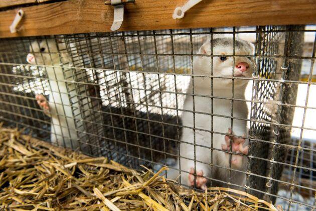 Polisen i Falkenberg har de senaste åren fått lägga åtskilliga resurser på händelserna kring minkgården.