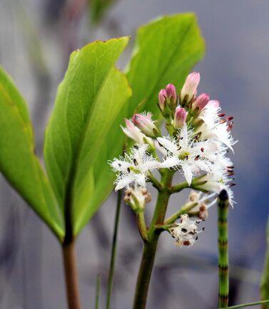 Vattenklövern har blommor som far åt alla håll.