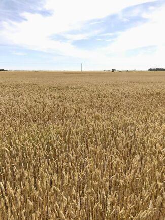 Efter torkan i fjol har det svenska jordbruket i år kunnat öka produktionsvärdet med 6 procent, bedömer Jordbruksverket.