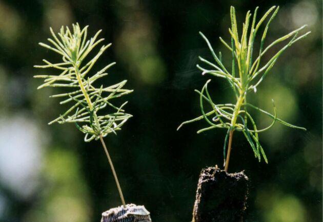 Plantering användes vid 84 procent av föryngringarna, 89 procent av den arealen markbereds och gran och tall är helt dominerande huvudplantor.
