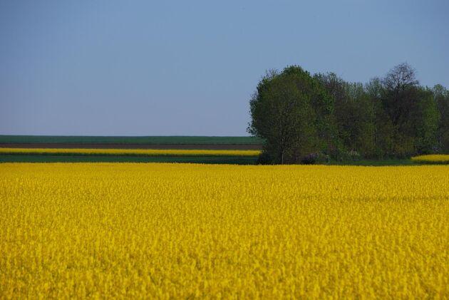 I Sverige har förbudet mot neonikotinoider framför allt påverkat odlingen av vårraps.