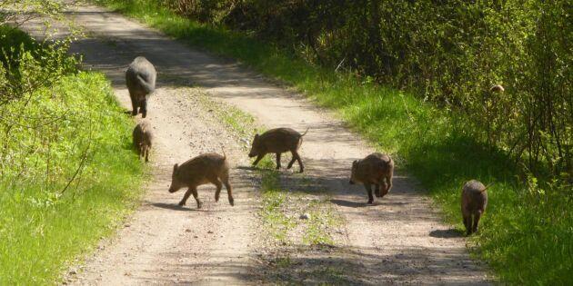 LRF: Subventionera testerna av cesium i vildsvin