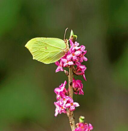 Tibast kan rädda vårens första insekter. En citronfjäril äter från en tibastblomma.