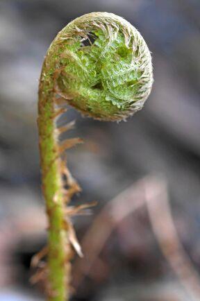 Strutbräken (Matteuccia struthiopteris) De unga skotten uppskattad vårgrönsak i nordöstra U.S.A och östra Kanada där man kan bli serverad strutbräkensoppa i skolan. Skotten skördas små, 10-15 cm långa och innan bladen vecklat ut sig, bara några skott per planta för att inte försvaga växten. Skotten kokas i minst 15 minuter, kan användas som sparris, läggas in eller förvällas och frysas. Foto: IBL.