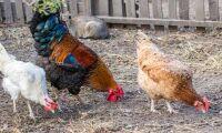 EU stoppar import av ukrainsk kyckling