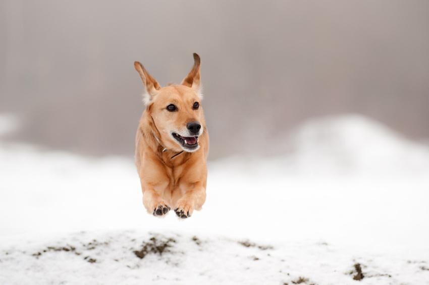 land_artikel_alska_vintern_hund_i_sno