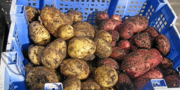 Sämre potatisskörd ger odlarna bättre betalt