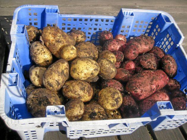 Potatisen räcker, men torkan sänkte totalskörden av matpotatis med 20 procent.