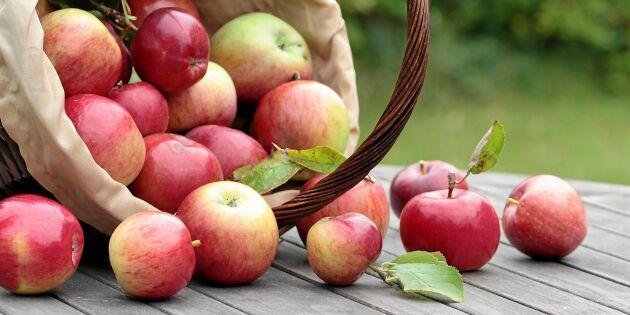 Därför blev äpplena dyrare – trots rekordskörd!