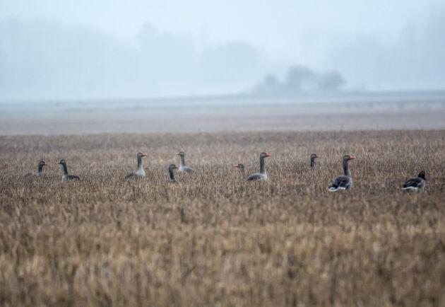 Allt fler grågäss stannar kvar för vintern.
