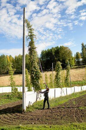 Humlerankorna växer på linor fästa högst upp på den höga stören.