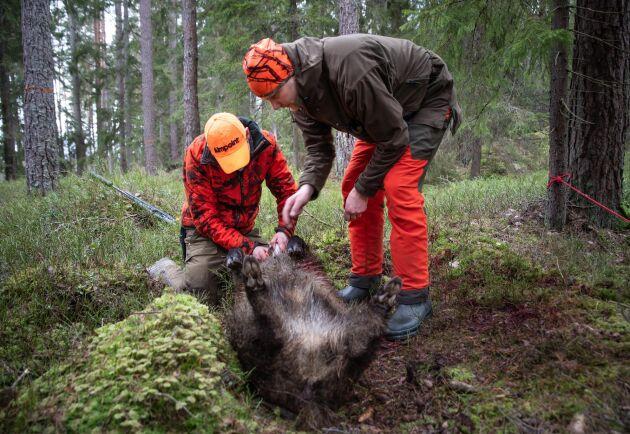 Efterarbete. Vildsvinet tas ur direkt och på platsen görs en viltundersökning under överinseende av läraren Petter Sernert.