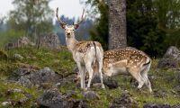 Skyddsjakten på hjort ska utökas