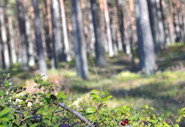 Här passar inte gran, enligt Skogsstyrelsen.
