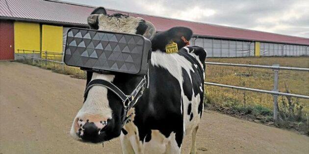 VR-glasögon ska öka mjölkproduktionen