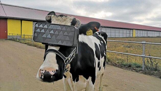 Kon bär VR-glasögon en mulen dag men förmodligen föreställer hon sig att hon är på grönbete.
