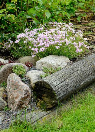 Mossflox är en låg, mattbildande perenn som översållas av blommor. Den trivs bra i stenpartier.
