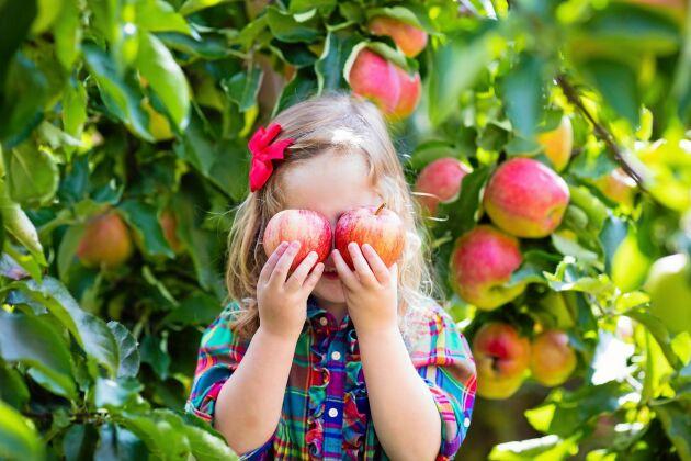 Håll äppelträden friska året om. Det ger mer och tyngre äpplen.