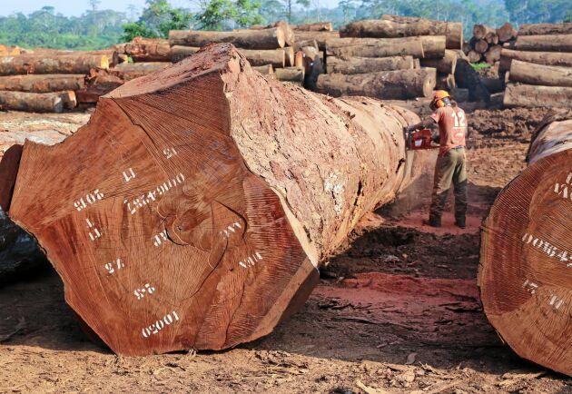 Jättestockar från regnskogen kapas manuellt på timmerplanen.