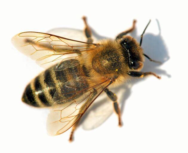 Ett honungsbi smalnar av på mitten men inte mer.