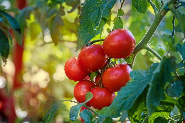 Plocka bort blad så att frukten får ljus.