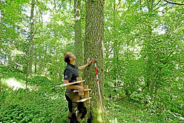 Stefan Karlsson spanar in en fin ek. Två meter är den kortaste längden på en timmerstock av ek, och den måste vara minst 17 centimeter i diameter i topp.