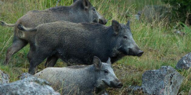 Så skyddar sig länderna mot svinpesten