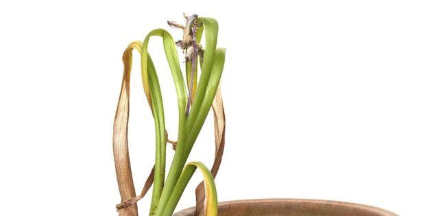 5 smarta tips: Så får du hyacinten att blomma länge