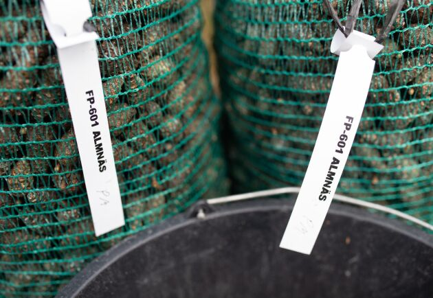 Efter att kottarna grovrensats packas de i påsar och märks med plantagens namn.