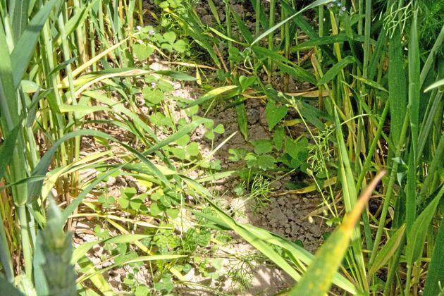 Subklöver är en de mer ovanliga sorter som testas som insådd i höstvete på Slätte Gårds demofält. Den växer långsamt och hade drygt två månader efter sådd hunnit så här långt.