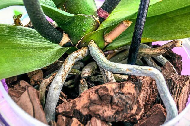När rötterna är silverfärgade kan det vara dags att vattna.