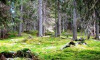 Frivilliga fältbiologer inventerar jämtlandsskogar