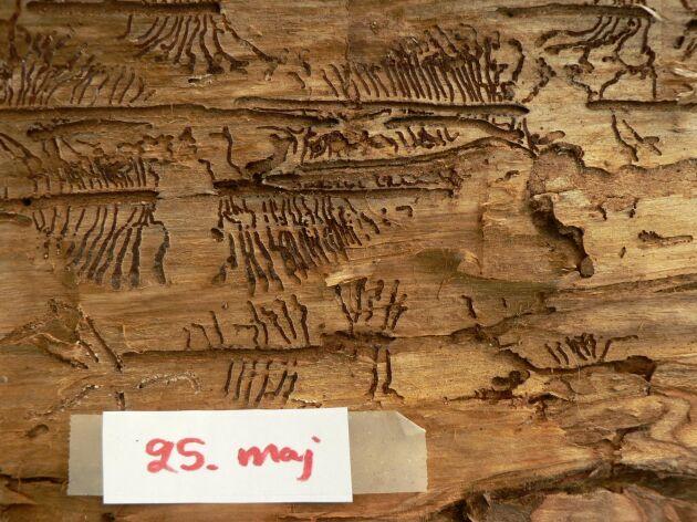 Gnag av åttatandad barkborre, granbarkborre, 25 maj.