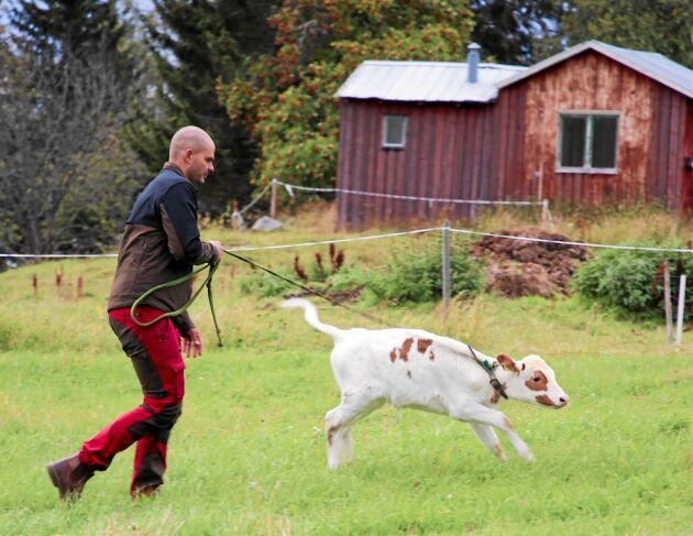 Erik med tjurkalven Olle av rasen fjällko som får komma ut och busa av sig.