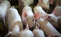 Ännu ett utbrott av afrikansk svinpest i Kina