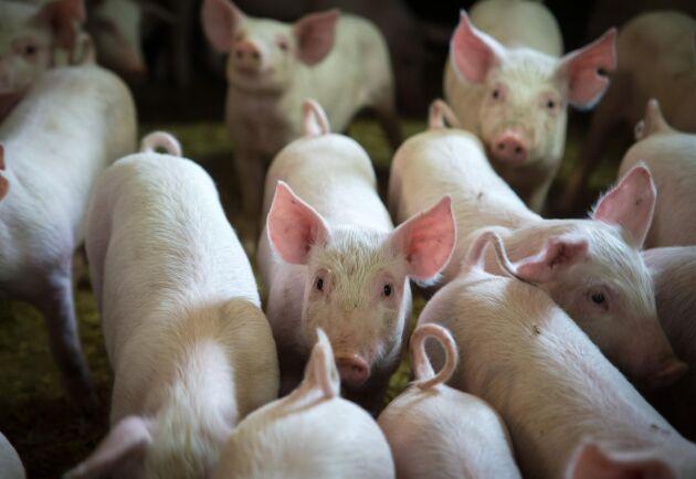 Afrikanska svinpesten har nu även nått Zhejiang-provinsen. I besättningen fanns 430 grisar.
