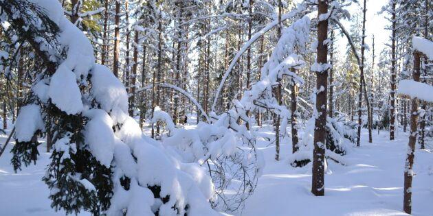 Snöskadat virke från i fjol kvar i finska skogar