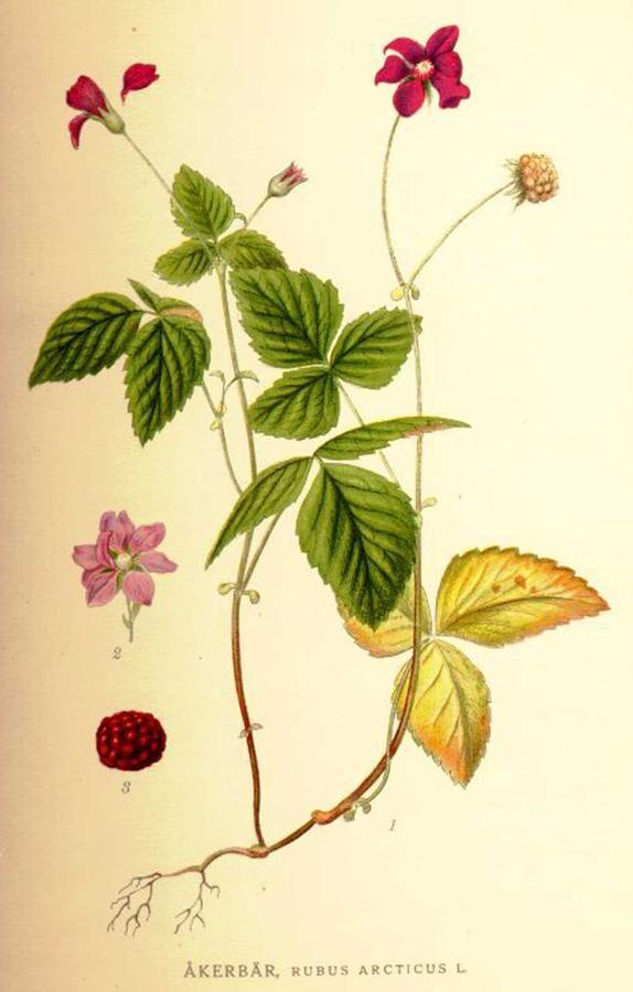Lapplands åkerbär anses vara Sveriges mest exklusiva bär.