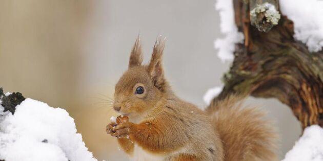 Nötter slår kottar – om ekorren själv får välja