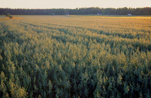 I fjol skördades 91400 ton ekologiskt odlad havre. Det är den största ekoodlade havreskörden som registrerats i Sverige.