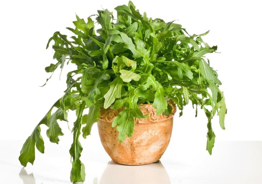 Fresh green arugula salad in a pot over white background