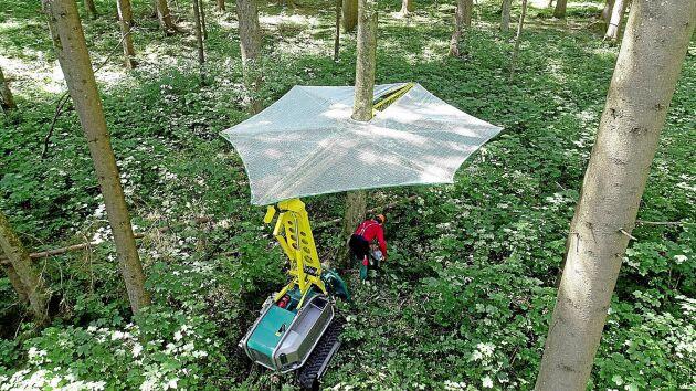 Skyddstaket Pflanzelt ökar säkerheten vid motormanuell avverkning i barkborreangripna bestånd.