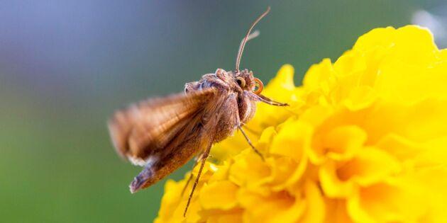 Finska bönder hemsöks av gammafly