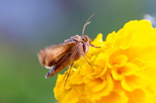 Gammafly. De fullvuxna fjärilarna äter i första hand nektar.