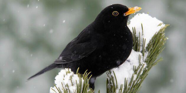 Årets fågelräkning klar – här är arterna som ökar och minskar i antal