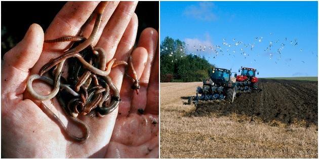 25 gånger mer daggmaskar i CA-jordbruk