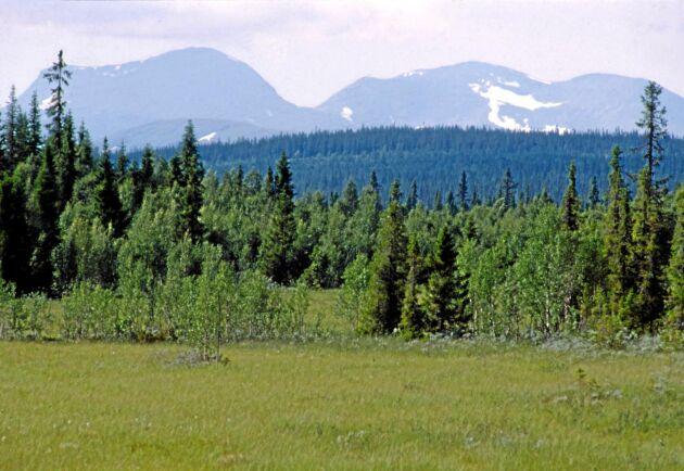 Marsfjället, fjällnära skog.