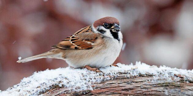 10 vanliga småfåglar vid din matning – så känner du igen dem