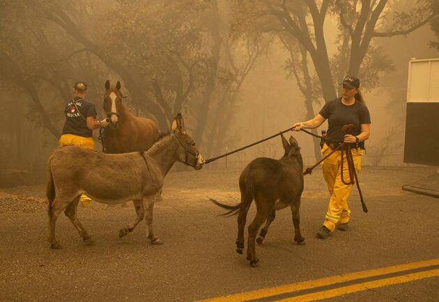 Linda Newman jobbar som djurskyddskontrollant i Butte, Kalifornien. Tillsammans med Kari Zeitler från katastrofgruppen i North Valley, räddar de två åsnor och en häst som lämnats kvar när den så kallade Bear Fire drog fram genom Berry Creek.
